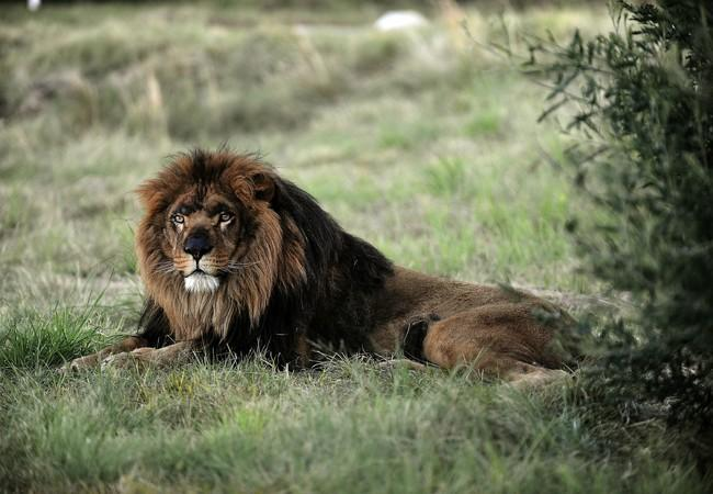 Mario, a French lion in LIONSROCK