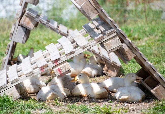 Die Enten haben schattige Plätze lieber als direkte Sonne