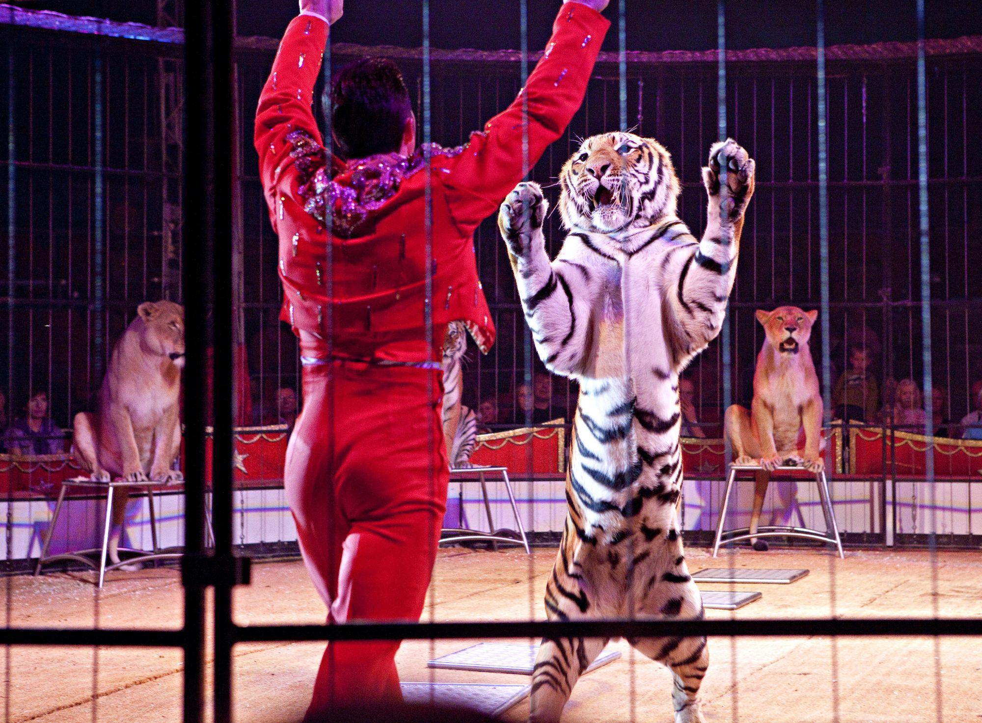Dieren in circussen worden continu blootgesteld aan stress