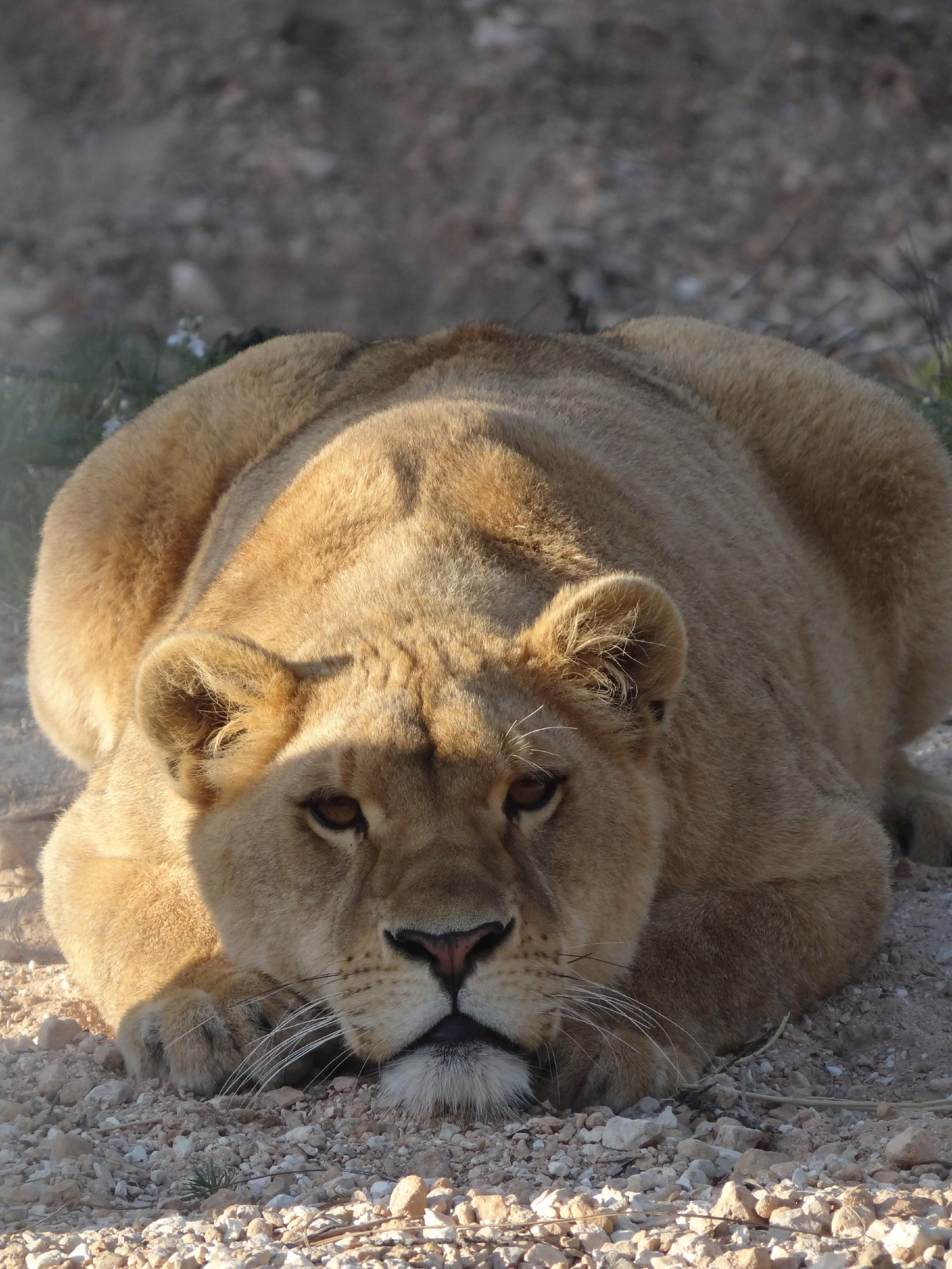 Löwin Nala in Primadomus © AAP Animal Advocay and Protection