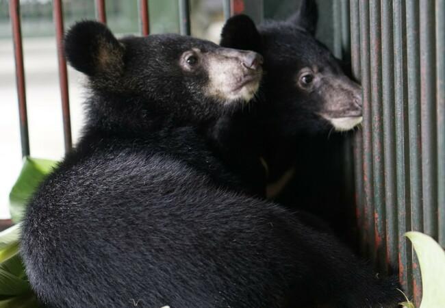 Les oursons étaient détenus dans une cage