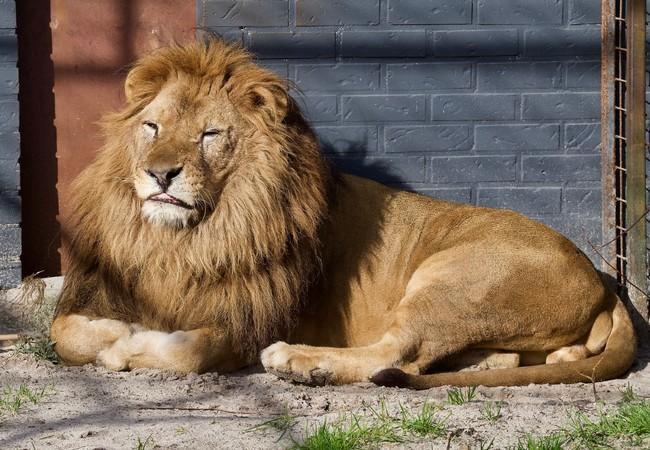 Löwe Lenci in FELIDA