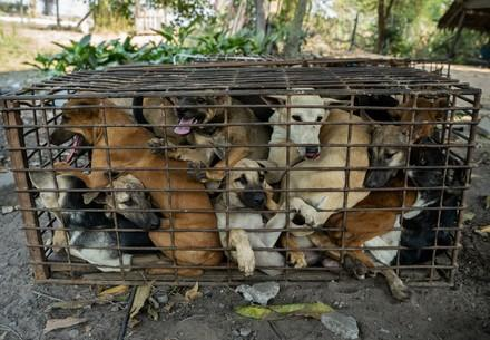 Dogs in a tiny cage at a slaughterhouse