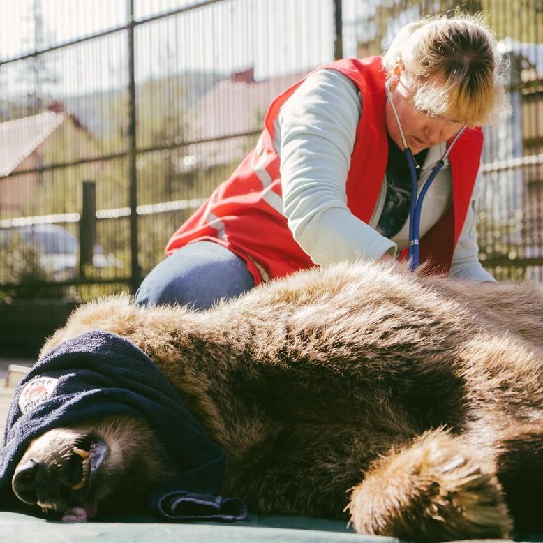 Vor dem Transport werden die Bären von einer Tierärztin untersucht