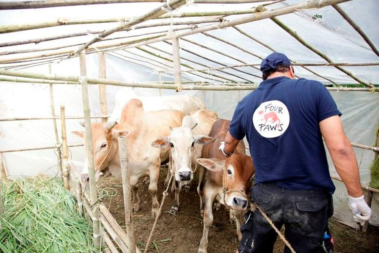 man-cows-tent