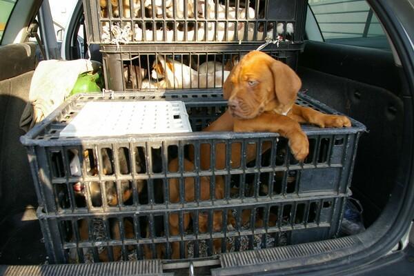 Hundewelpen werden in Kisten transportiert