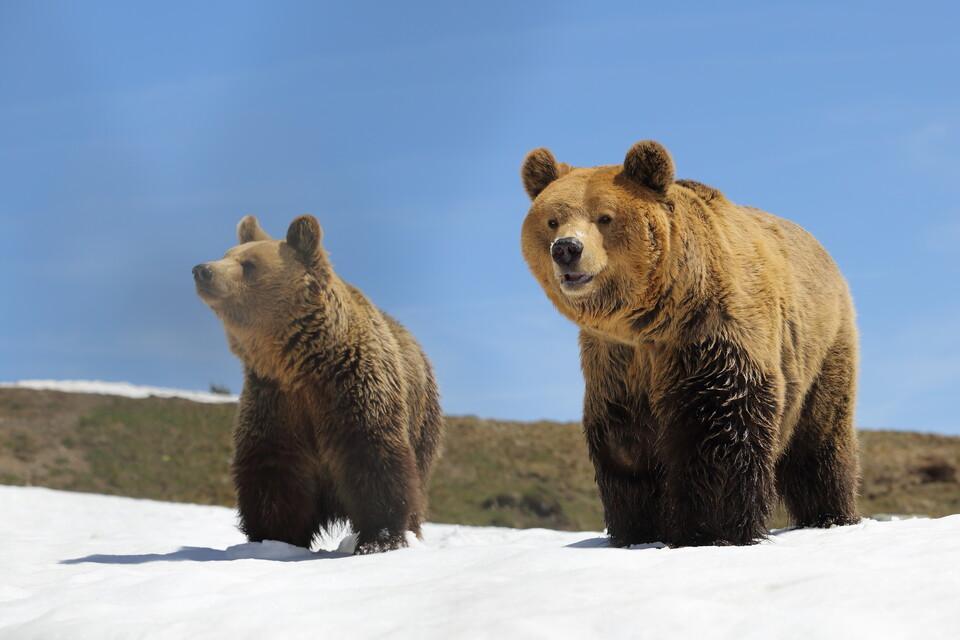 Bears Amelia and Meimo