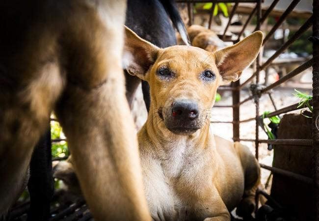 dog in a cage in Borneo