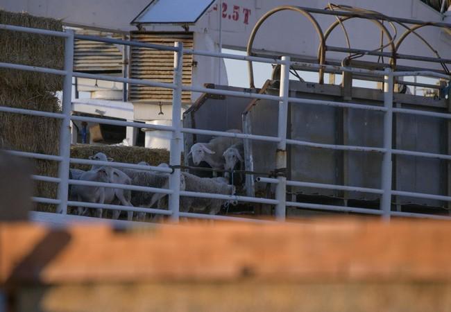 Des animaux au bord d'un navire