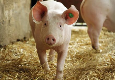 Schweine sind neugierige und aufgeweckte Tiere