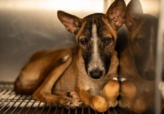 Dog Maverick, rescued from a dog slaughterhouse in Skun, Cambodia.