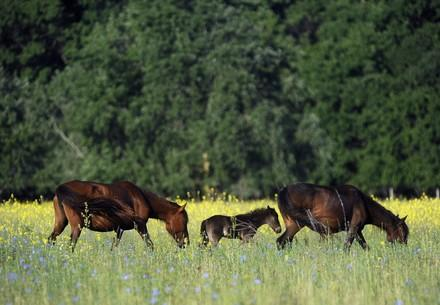 Wild Horses in Romania