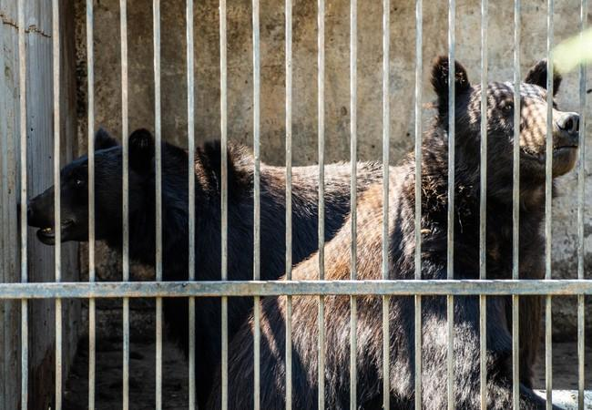 Both the bears suffered for years in barren cages