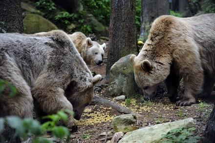Bears in a FOUR PAWS sanctuary