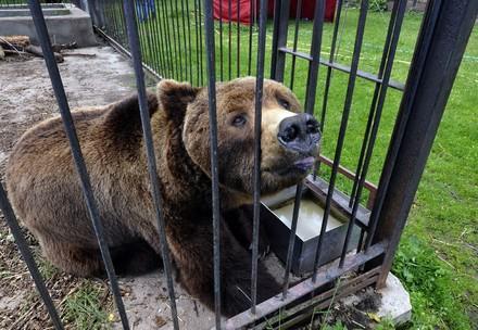 Un ours dans une cage en Pologne