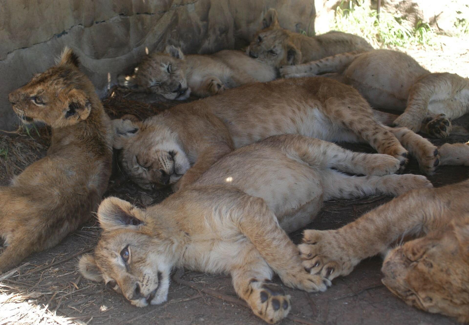 Leeuwenwelpen op een knuffelfarm