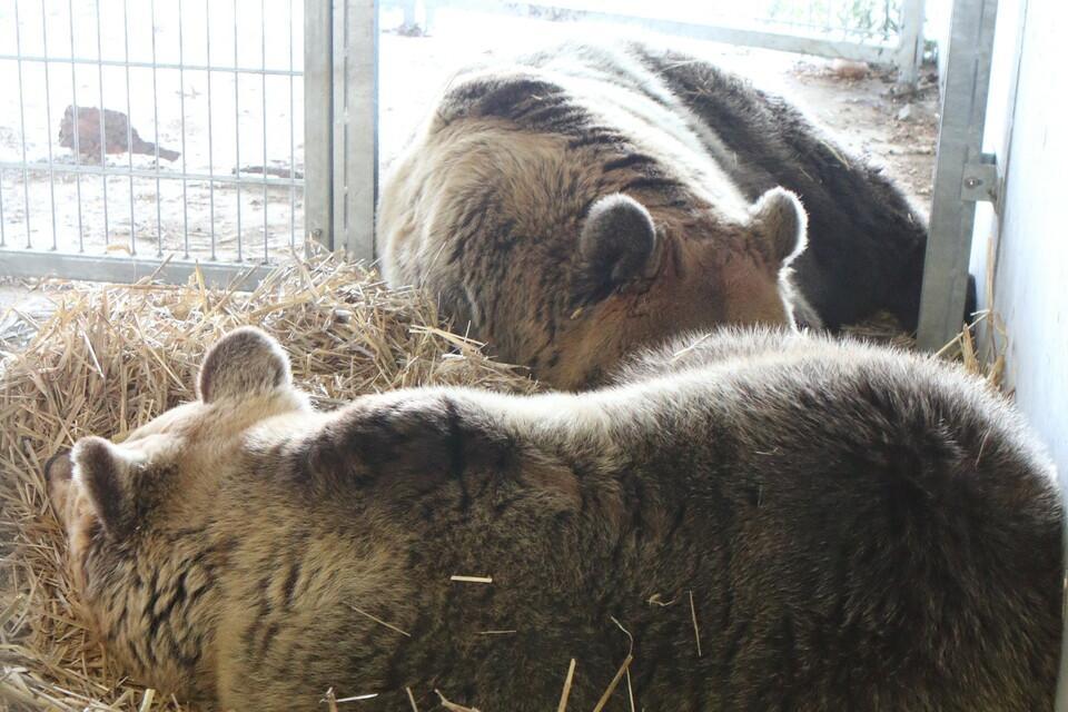 Les ours Amelia et Meimo à Arosa Terre des ours