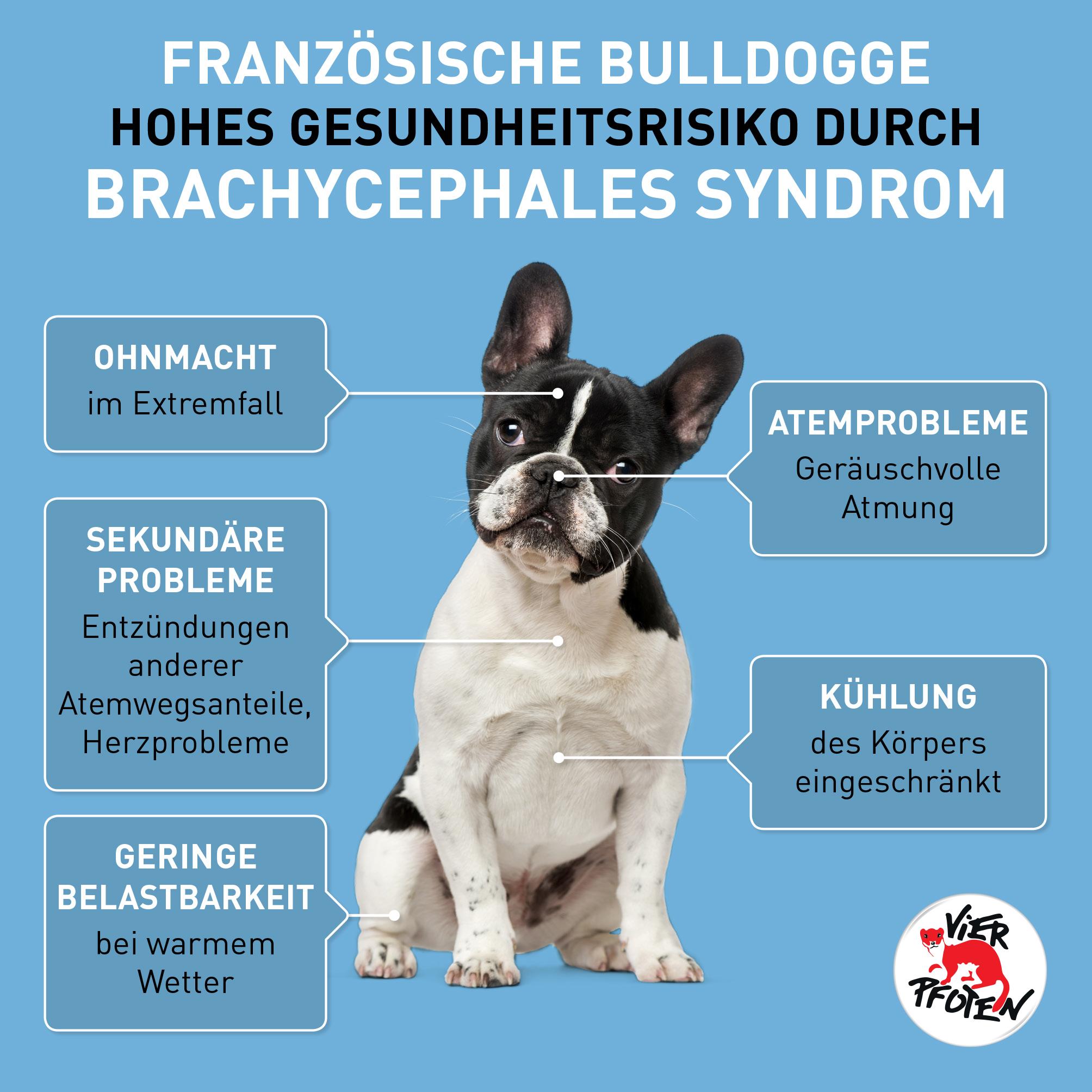 Französische Bulldogge: Hohes Risiko durch Brachycephales Syndrom