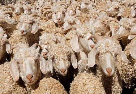 Angora Ziegen die für die Mohair-Produktion genutzt werden