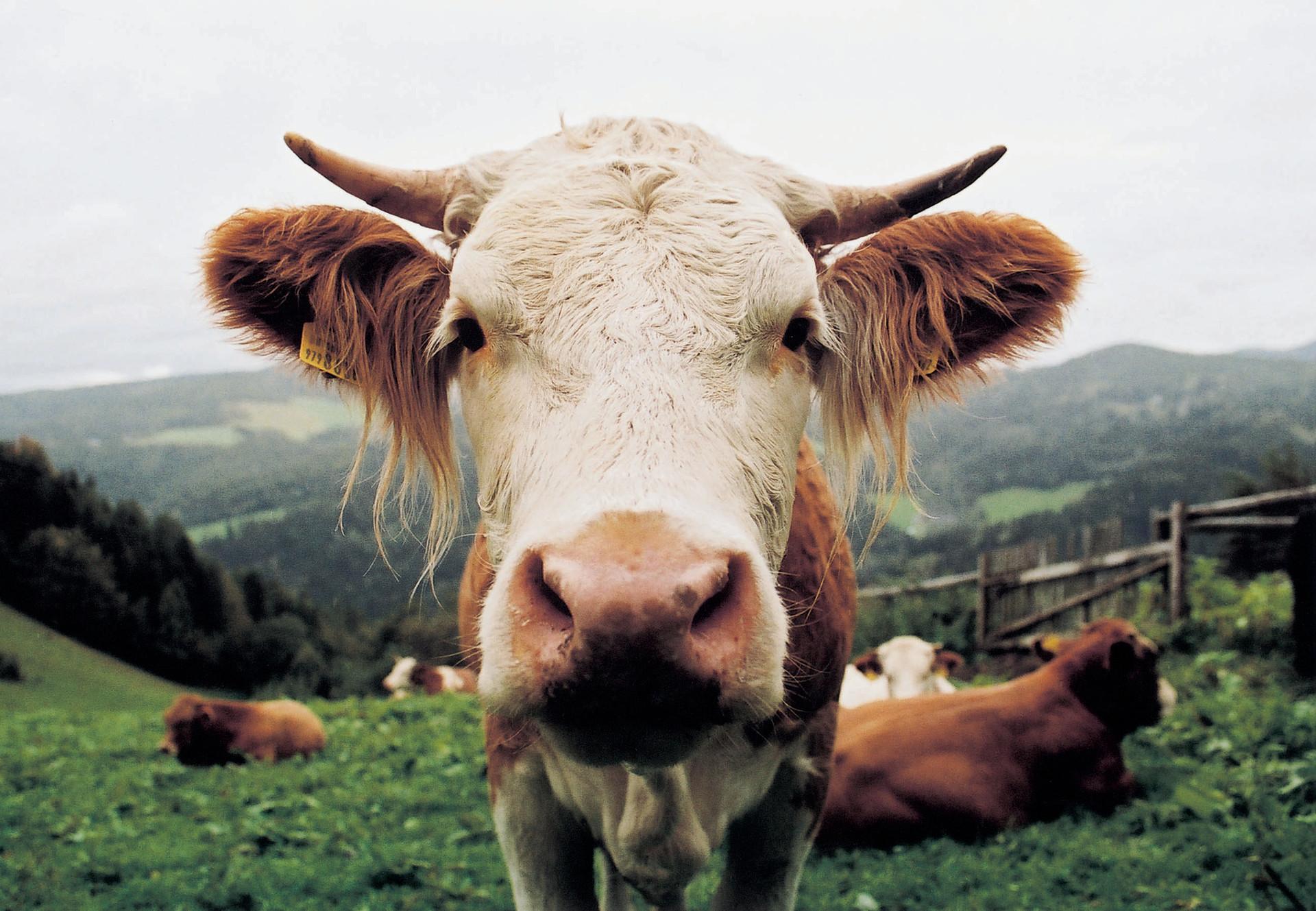 Rinder auf der Weide (C) VIER PFOTEN