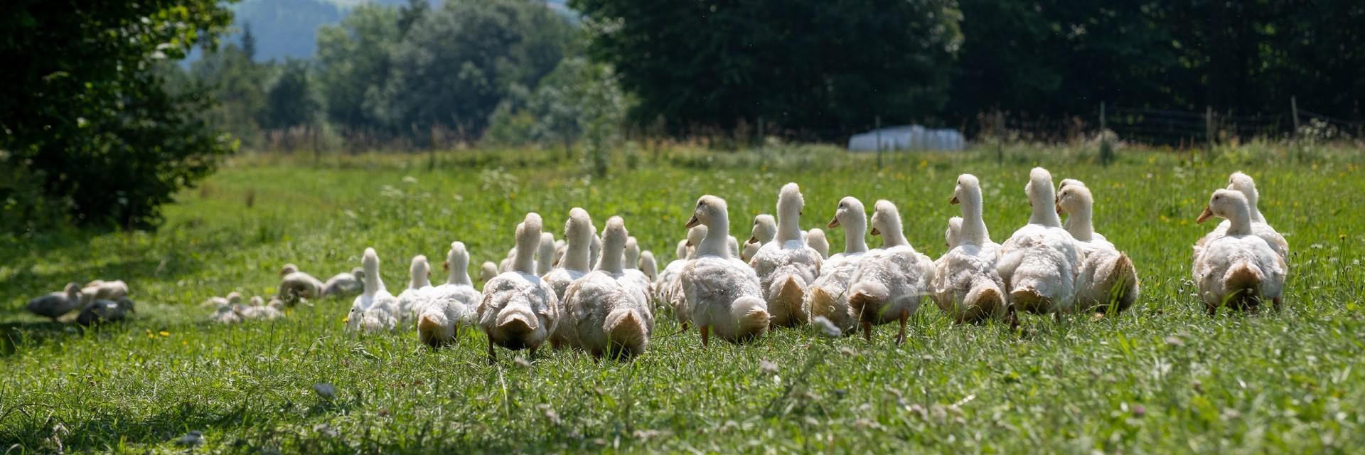 Enten mit Auslauf in Österreich