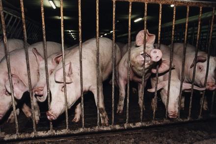 Schweine in Käfig (c) VIER PFOTEN
