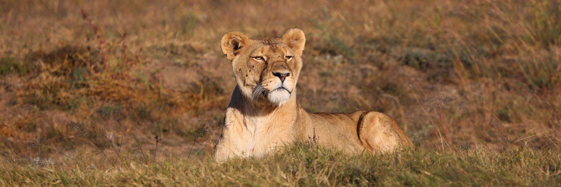 Löwin in Lionsrock
