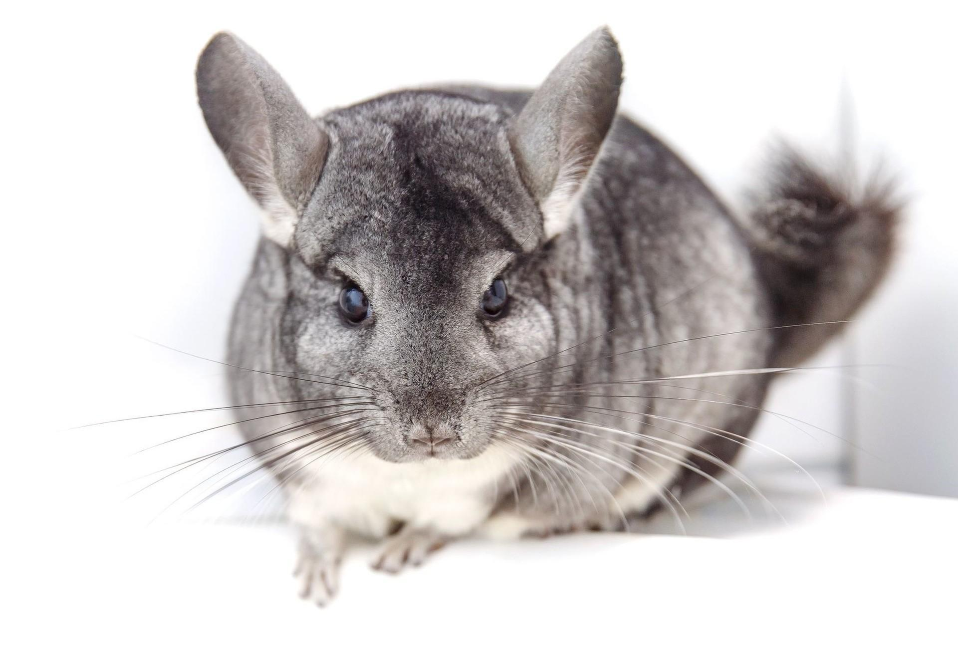 Was Sind Chinchillas