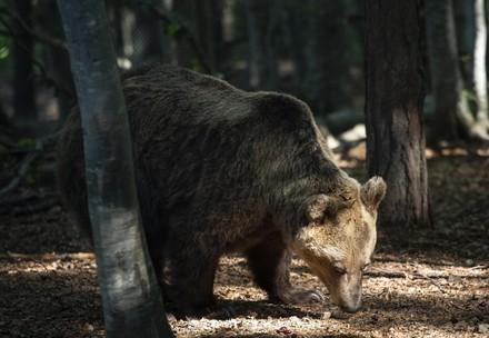 Bear at DANCING BEARS PARK Belitsa