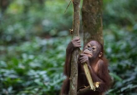 The ORANGUTAN FOREST SCHOOL