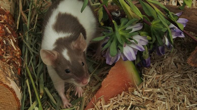 Mouse in enclosure with enrichment and food