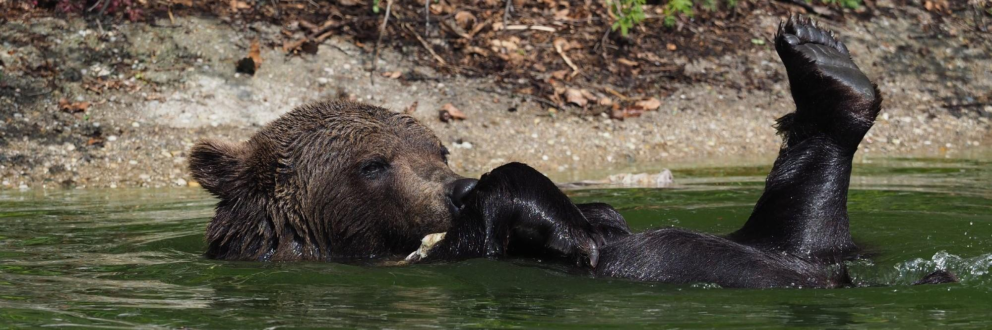 Bears love to swim