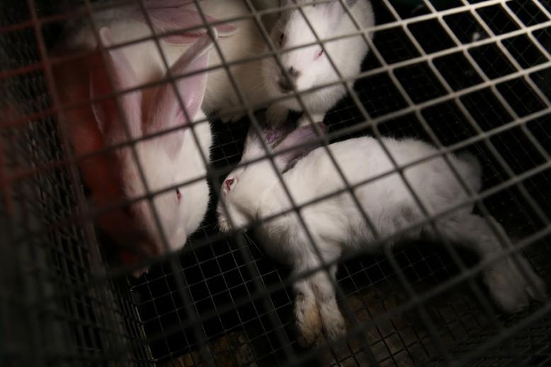 Farmed Rabbits
