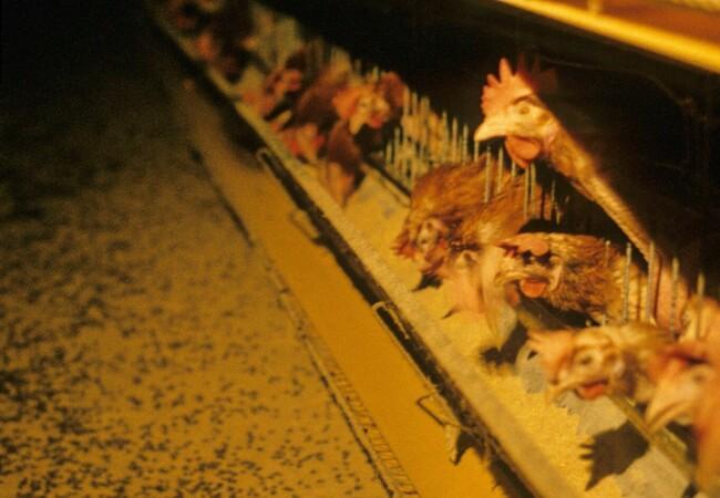 Battery hen egg farm