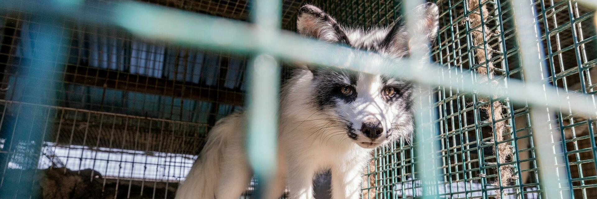 Gefangener Fuchs auf einer Pelzfarm in Finnland