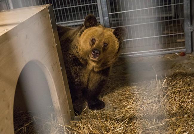 Amelia erkundet ihr neues Zuhause im Arosa Bärenland