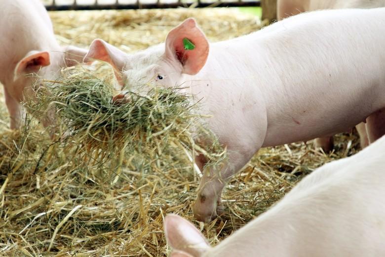 Schwein mit Heu und Stroh als Beschäftigungsmaterial
