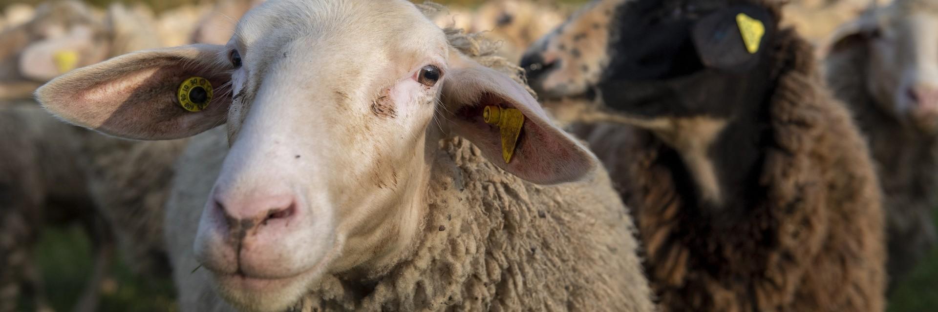 Меринска овца