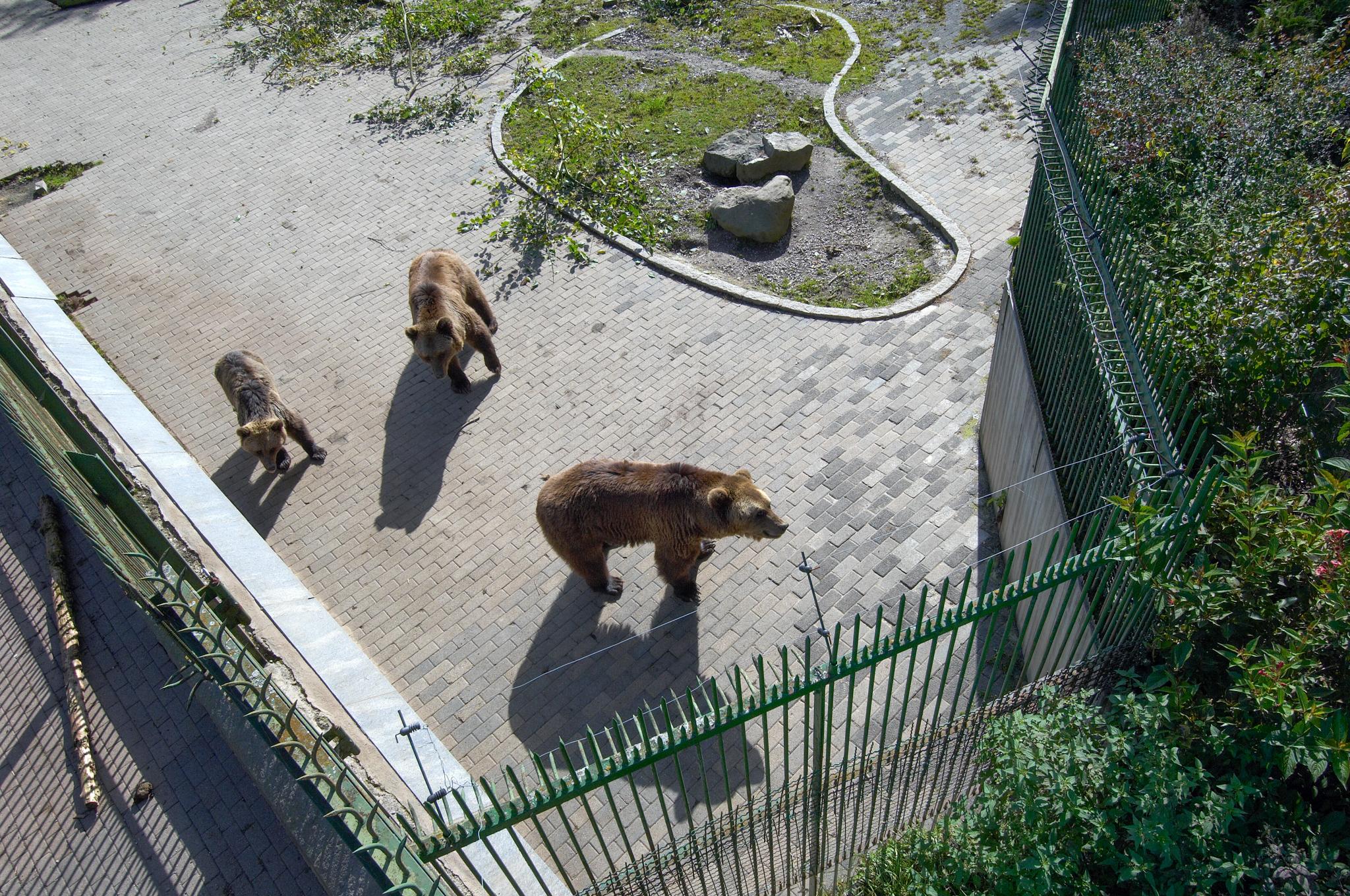 Die drei Bären in ihrem tristen und kleinen Gehege
