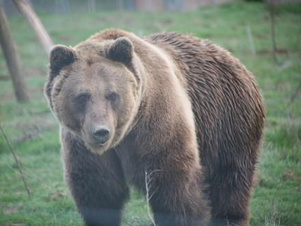 Bear Vini