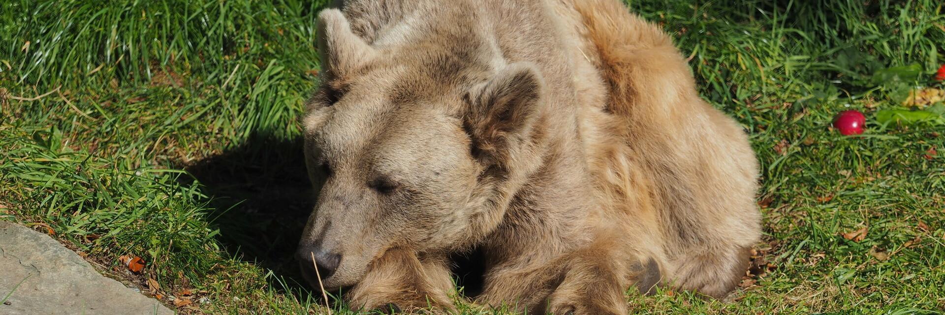 Die Bären machen sich bereit für die Winterruhe im BÄRENWALD Arbesbach
