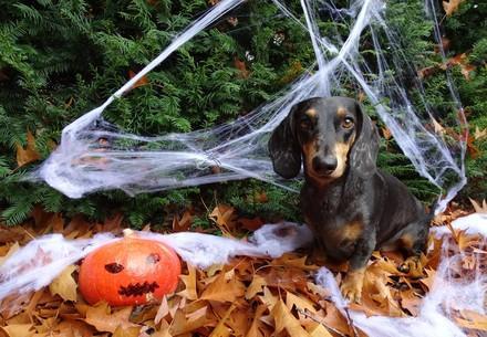 Hund sitzt im Laub mit Halloween-Deko umgeben