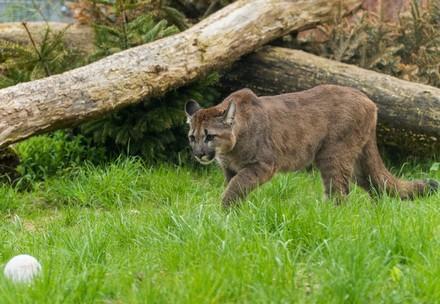 Puma Tikam schleicht sich an
