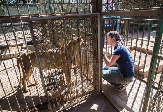 Löwin im Sudan