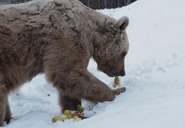 Braunbär Tom steht im Schnee und hat eine Birne in dr Schnauze