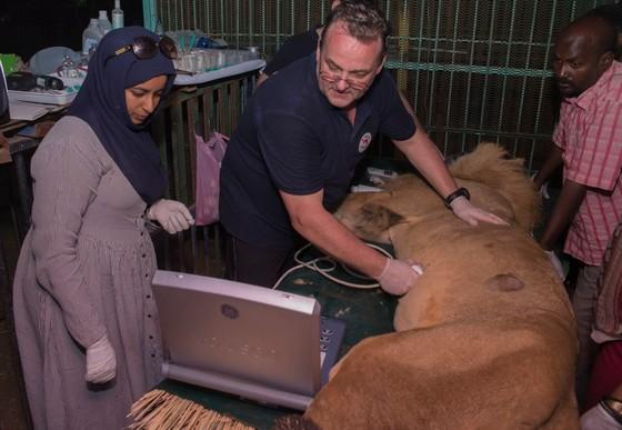 FOUR PAWS and local vets giving medical attention to lion