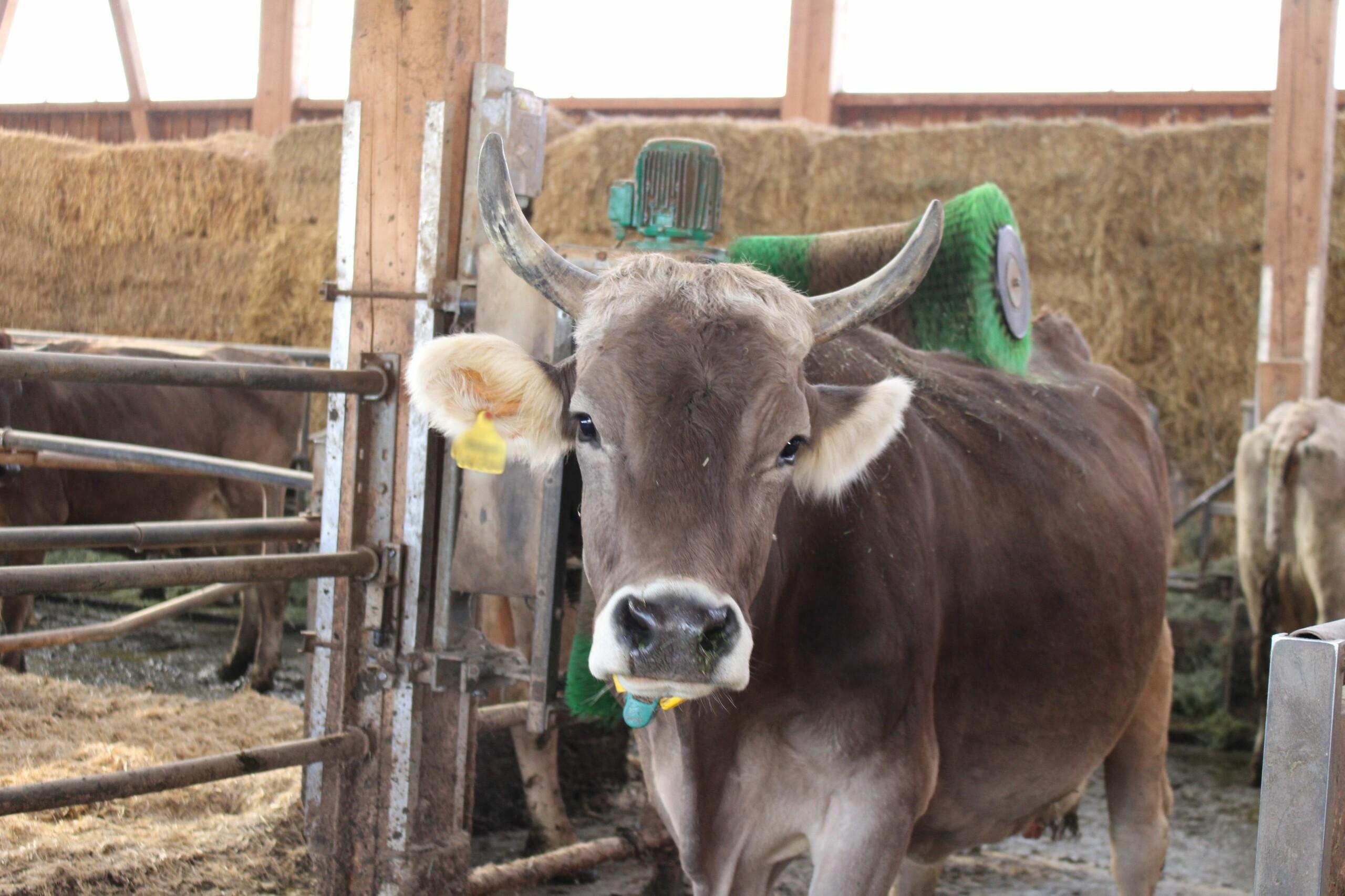 Kontrolle bei den Milchkühen