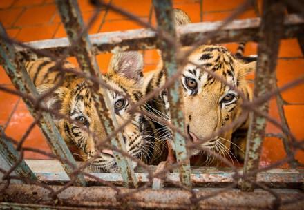 Junge Tiger im Käfig
