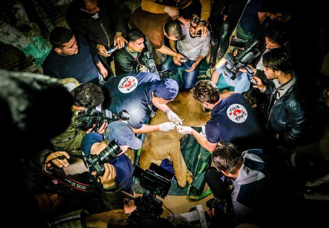 Untersuchung der geretteten Tiere im Rafah Zoo