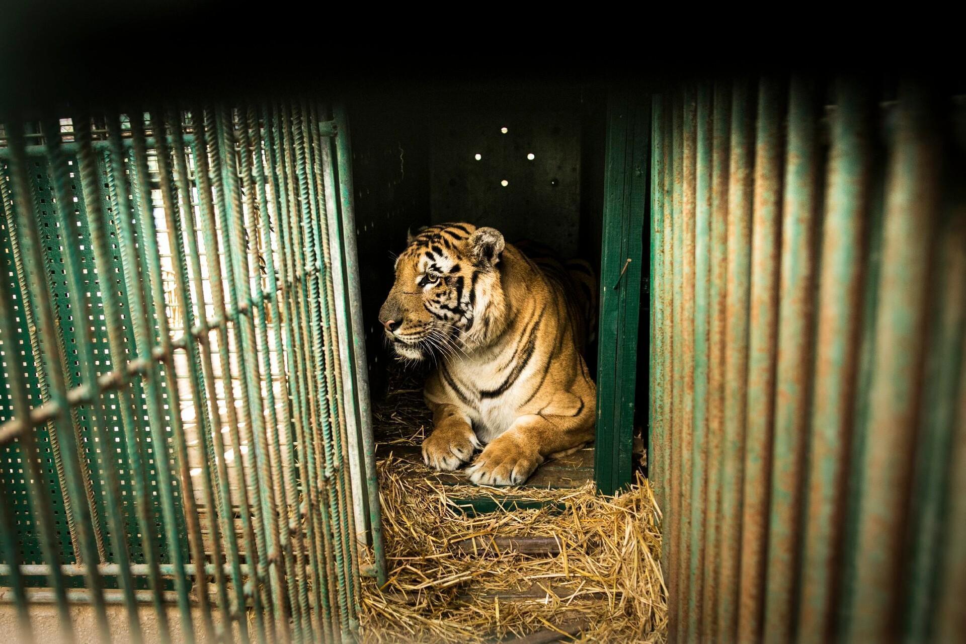 Tiger in cage in Gaza